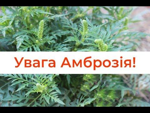 Амброзія та повитиця: чим небезпечні карантинні рослини