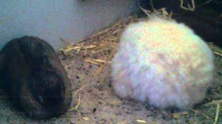 Funny bunny max the giant rabbit!