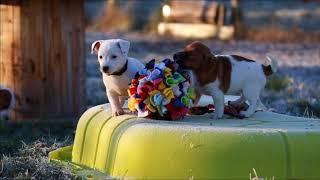 Chiots Jack Russell Terrier ~ 8 semaines. Sociabilisation.