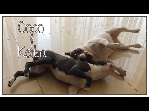 Boston Terrier And French Bulldog Playing
