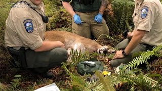 Cougar attack is Washington state's first in nearly a century