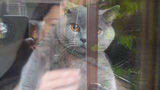Дрессированный британский кот) выполняет команды)
