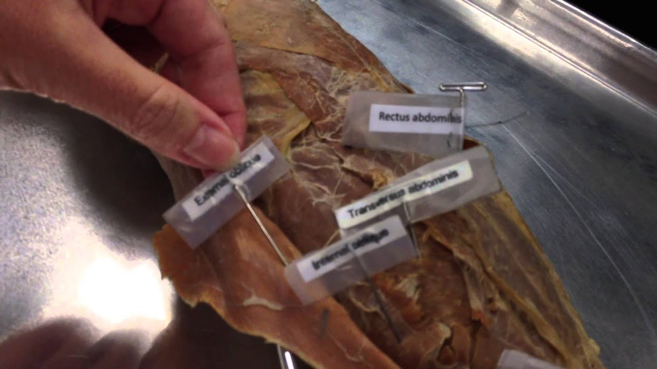 cat dissection lab report Cat dissection, dissection, anatomy, physiology, zoology.