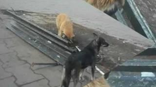 Собаки играются на станции Железнодорожная / Dog's playing