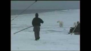 Russian polar bears under threat