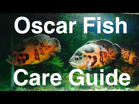 Tiger Oscar Fish Care - Food, Facts, & Behavior
