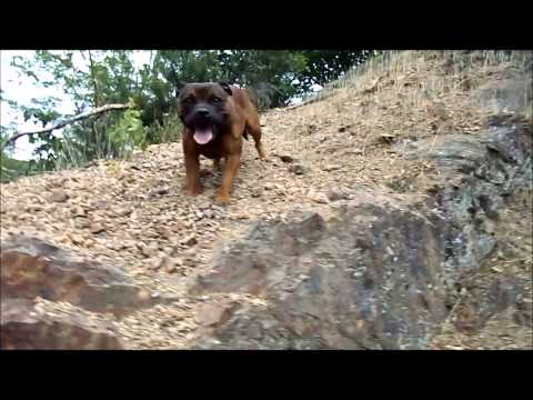 american bully and staffordshire bull terrier
