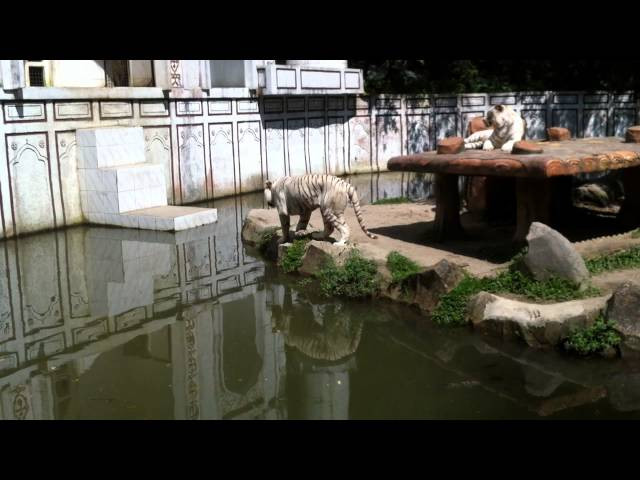 White Tigers @ Taman Safari ~ indonesia Travel Video