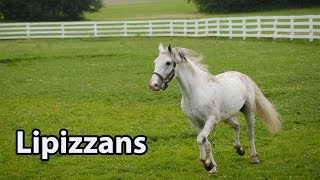 Majestic White Horses: The Spanish Riding School of Vienna