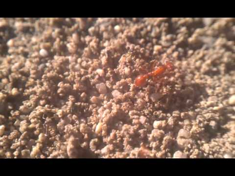 Pogonomyrmex californicus battling Linepithema humile - Costa Mesa, CA 11-24-2013