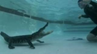 Gator Enjoys Afternoon Swim | Gator Boys
