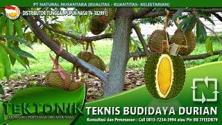 Rahasia Budidaya Durian cepat panen berbuah manis dan besar - pupuk oeganik durian
