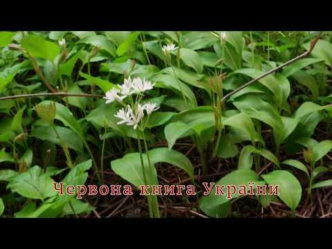 ZFront Kharkov UA: Черемша, Цибуля ведмежа - Allium ursinum