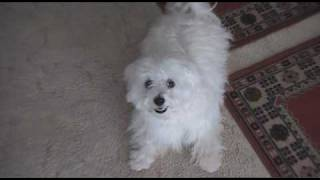 Maltese Terrier Puppy :) Running Around