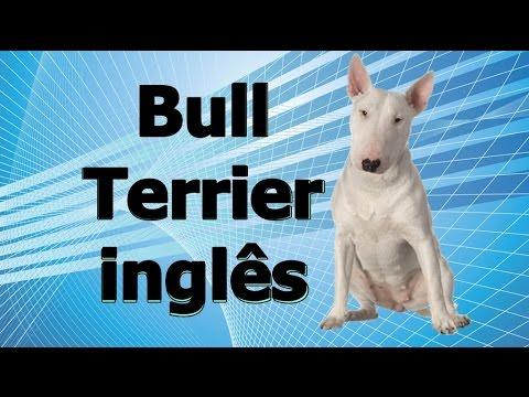Guia de raças caninas - Bull terrier inglês