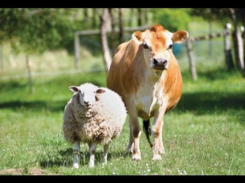 Sheep vs. Cow   FunnyDog.TV