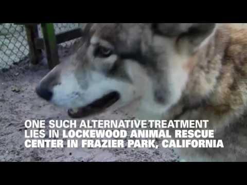 Wolves Help Veterans Suffering From PTSD
