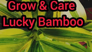 How to grow n care lucky bamboo in (Hindi and Urdu)