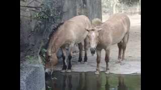 木柵動物  普氏野馬Equus ferus przewalskii
