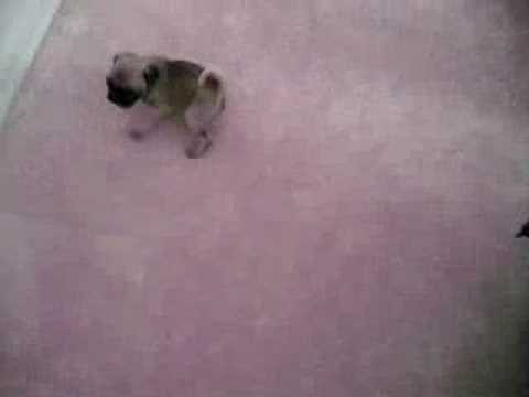 tiny pug puppies being cute   youtube
