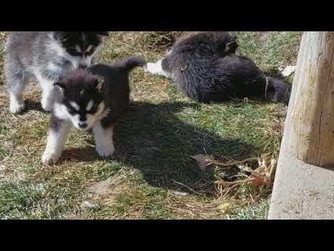 PuppyFinder.com : Alaskan Malamute Puppies for sale, Puppies at play