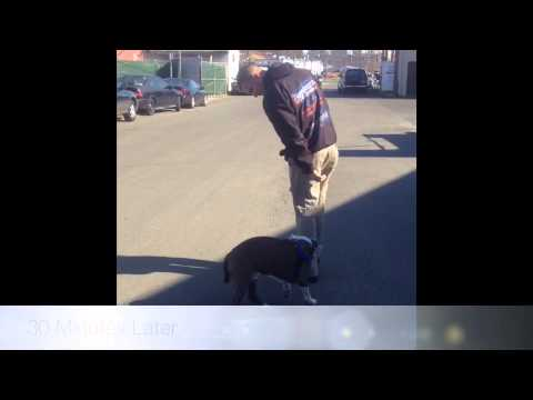 Pit Bull Heeling Before and After Video! Dog Training, Northern Virginia, DC, and Maryland