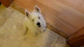 """Cute West Highland White Terrier Puppy (westie) """"ubi"""" - Barking In The Bathroom"""