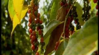 Thai Peppercorn Harvest Phrik Thai พริกไทย