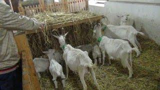 Содержание коз в фермерском хозяйстве Шервет
