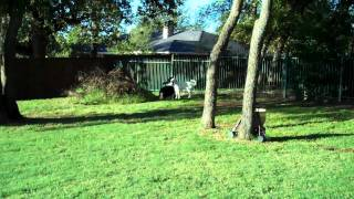 Pack Welcomes Tinker The Akbash | Redeeming Dogs | Dfw Dog Training