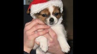 Chihuahua/shih Tzu Mix~cutest Shichi Puppy Ever :)