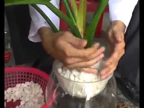 Kỹ thuật trồng cây cảnh theo phương pháp thủy canh