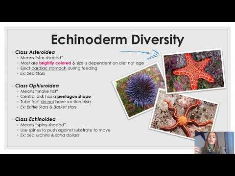 Phylum Echinodermata (updated)
