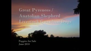 Great Pyrenees / Anatolian Shepherd Puppies for Sale: Livestock Guardian Dogs - June 2010