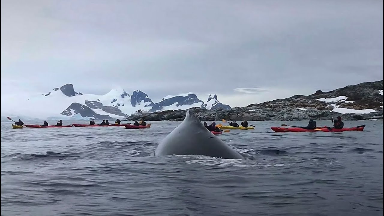 Kayakers get SURPRISE OF THEIR LIVES in Antarctica!