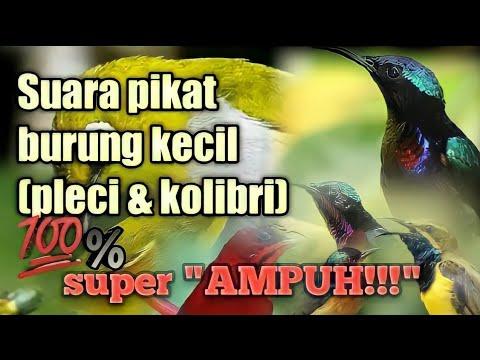 Suara pikat burung kecil   mp3 pikat kolibri ribut