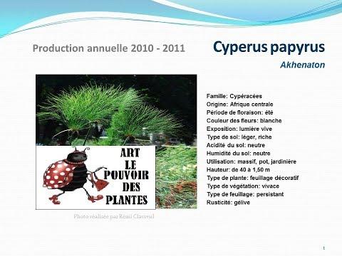 Tuto jardin: Cyperus papyrus: fiche technique plante annuelle