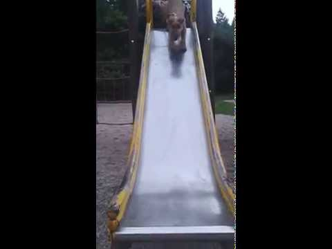6mth old Irish Terrier doing Agility on a playground