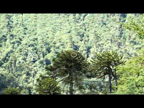 araucaria araucana para aulaagroforestal