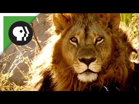 Maned Lioness Displays Both Male and Female Traits