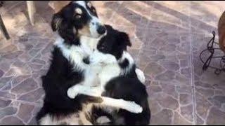 ボーダーコリーと子犬のかわいくて元気な姿   見てるこっちまで癒される...