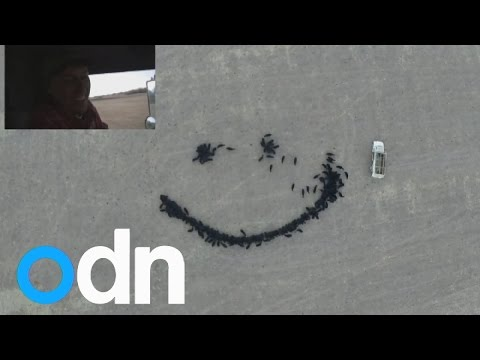 US farmer creates huge smiley face from cows using feed and drone camera