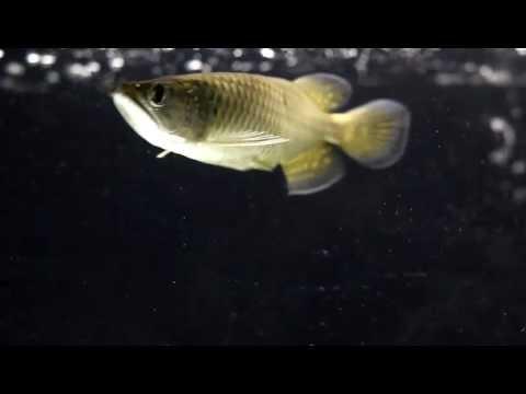 Australian Jardini Gold Arowana eating worm | FunnyDog.TV