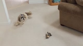 Silly Shih Tzu Dog Lacey And Her Zoomies