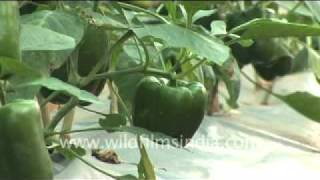 Capsicum farming in India