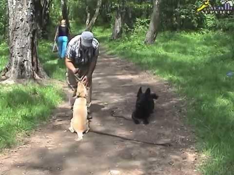 Erziehung von einem Labradorwelpen.  Erziehungsunterricht.