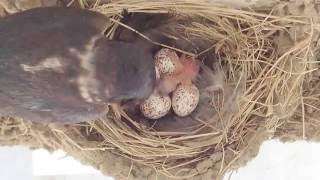 午後3時半頃、最初の卵がかえり1羽目の雛が誕生しました。 映像は10倍...