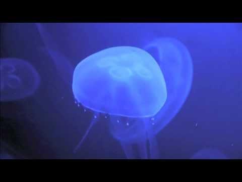 Fluorescent jellyfish in the oceanium rotterdam holland hd doovi - Meduse aurelia aquarium ...