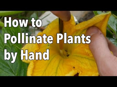 Hand Pollination: How to Pollinate Plants by Hand