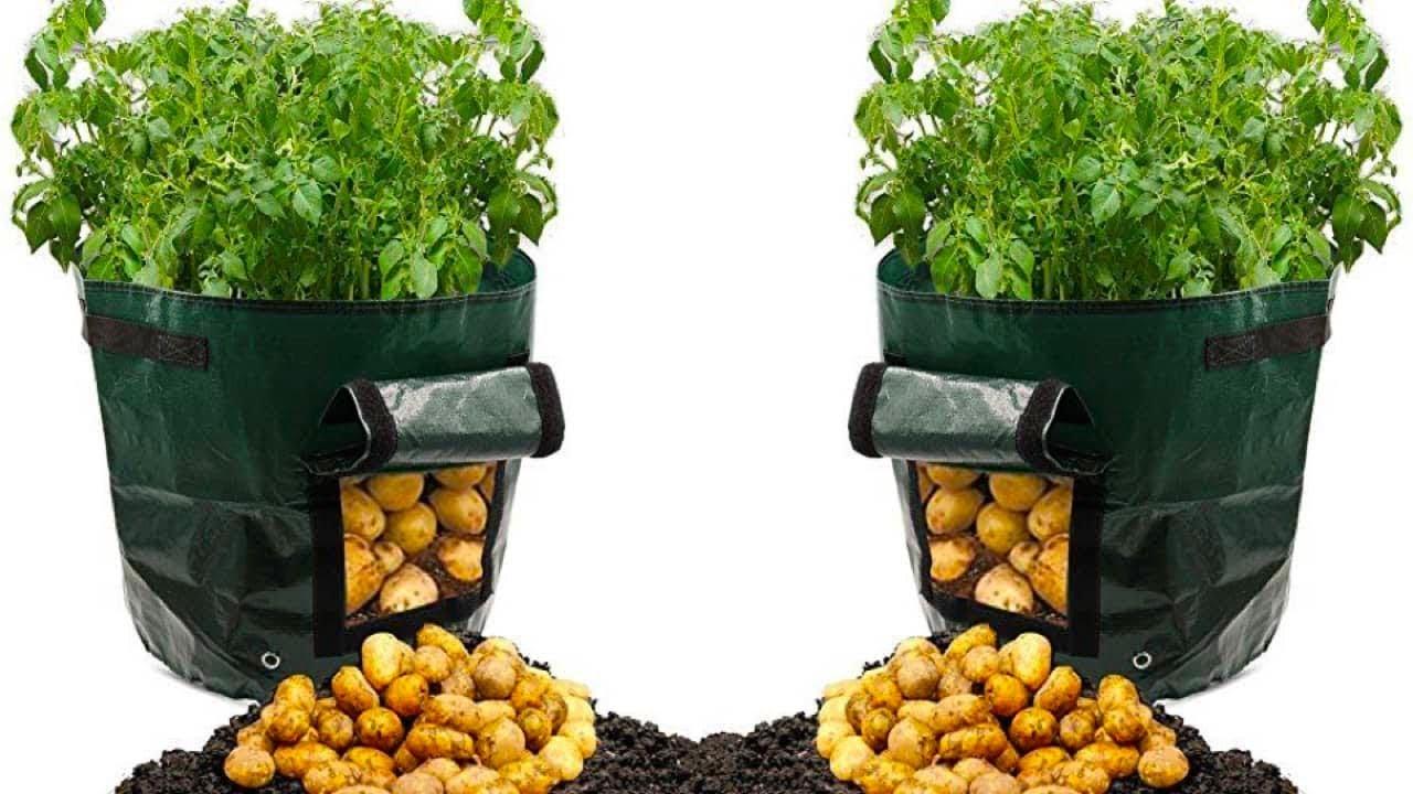 هذه طريقة زراعة طن من البطاطس في كيس قمامة